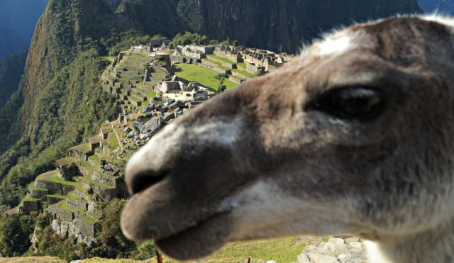 LLama in Machu Picchu, Photo by Flavio Moy, HealerShaman.com