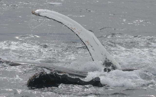 02humpbackwhales-adapt-1190-1
