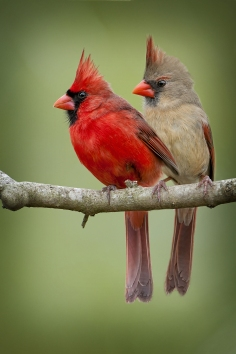 northern-cardinals-resized